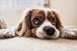Cockerspaniel laying on carpet